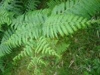 シダ植物の画像